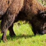 """Wood Bison"" by akstp"