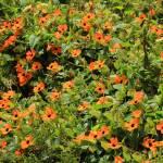 """""""2016-04-19 Orange Wildflowers on a Bush"""" by rhamm"""