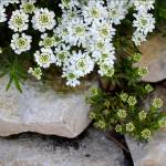 """Candytuft on the Rocks"" by KsWorldArt"