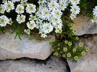 Candytuft on the Rocks