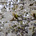 """""""White Magnolia"""" by Michelle1991"""