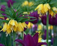 Kaiser's Crown Imperial Tulips