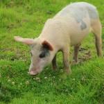 """""""Pig in Wildflowers"""" by rhamm"""