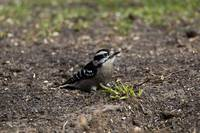 Downy Woodpecker Sitting