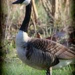 """Canada Goose Portrait with Vignette"" by KsWorldArt"