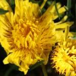"""Dandelions - Unwanted"" by KsWorldArt"