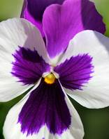 Purple Pansy 2016