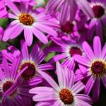 """Purple Cineraria Flowers"" by KsWorldArt"