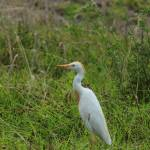 """Cattle Egret in a Field"" by rhamm"
