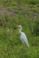 Cattle Egret in a Field