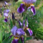 """Iris Garden"" by Groecar"