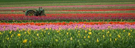 Tractor in the Tulips