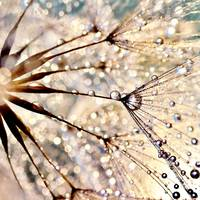 Dandelion with pearls of dew