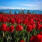 """TulipsBaker-2243"" by CaptureLife"