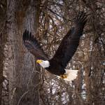 """""""WinthropEagle-9516Square"""" by CaptureLife"""