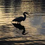 """Egret Silhouette"" by DBenoit"