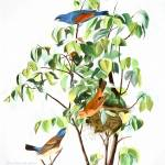 """John Audubon Blue Grosbeak Reimagined"" by johncorney"
