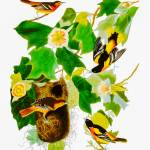 """John Audubon Baltimore Orioles Reimagined"" by johncorney"