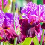 """Purple Irises"" by johncorney"