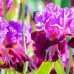 """Purple Irises"" by johncorney"