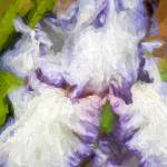 """Purple Iris #3"" by johncorney"
