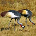 """National Bird of Uganda"" by Wintercreeks"