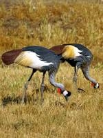 National Bird of Uganda