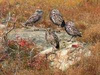 Burrowing Owl Colony