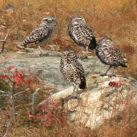 Burrowing Owl Colony Art Prints & Posters by I.M. Spadecaller