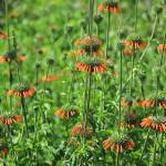"""Wild Cone Flowers"" by rhamm"