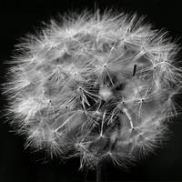 Dandelion 2016 Black and White Square