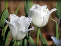 White Fringed Tulips