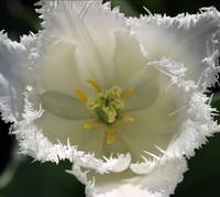 White Fringed Tulip