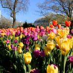 """Tulips at Franklin Park"" by KsWorldArt"