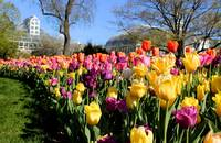 Tulips at Franklin Park