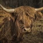 """Scottish Highland Cattle"" by WilshireImages"