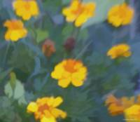 Painted Marigolds