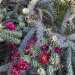 """Blooming Buckhorn Cactus"" by GordonBeck"