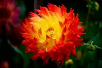 Orange & Yellow Dahlia