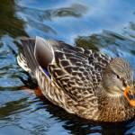 """""""Mallard Duck"""" by akstp"""