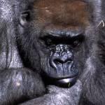 """""""Gorilla"""" by stuartk"""