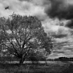 """Lone Sugar Maple in black & white"" by WanderPhotog"