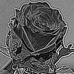"""Monochrome Rose"" by Jurchx"