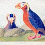 """John Audubon Plate 249 Tufted Auk"" by johncorney"