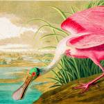 """John Audubon Reimagined - Roseate Spoonbill"" by johncorney"