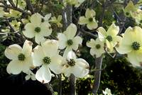 Dogwood tree color