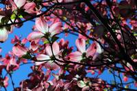 Pink dogwood in the sky