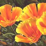 """California Poppy Quintet"" by denisejhowardart"