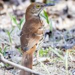 """Brown Thrasher"" by WildAboutNaturePhotography"