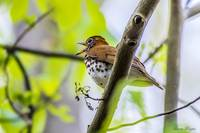 Singing Wood Thrush